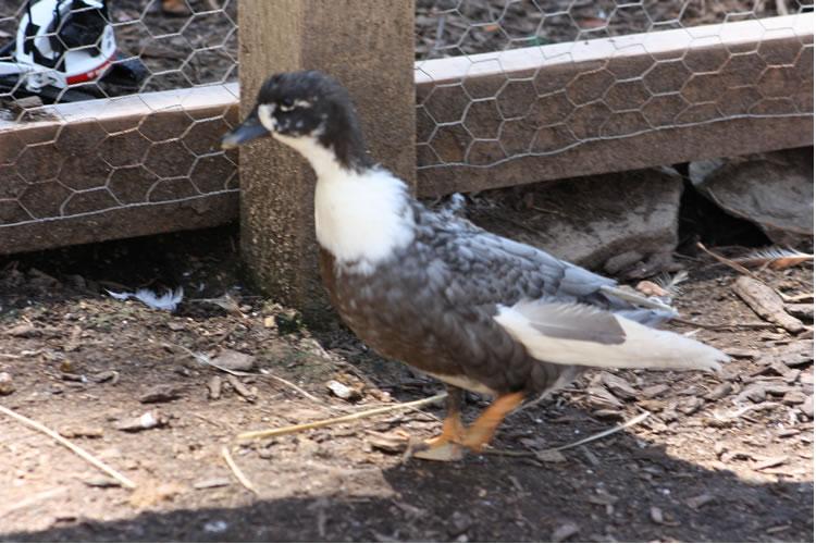 duck422