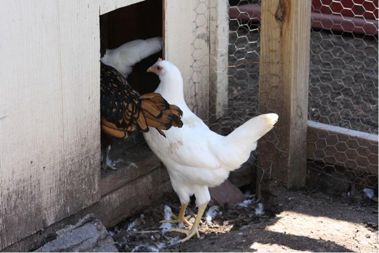 chicken462
